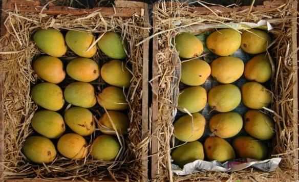 alphonso mango crate